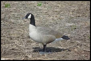 Picture of Bigfoot Bull Canada Goose Decoys (BF114488)