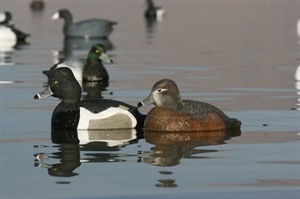 Picture of **FREE SHIPPING** Life-Size Ring Neck Duck Decoys (AV73040) by Greenhead Gear GHG Avery Outdoors