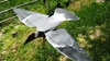 Picture of Pigeon Flapping Flyer Hypa-Flap by Sillosocks Decoys