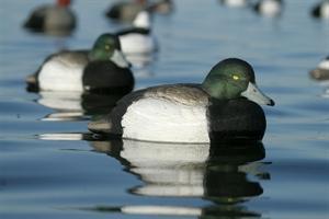 Picture of **SALE** OverSize Bluebill Duck Decoys (AV73039) by Avery Greenhead Gear GHG
