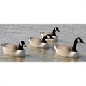 Picture of BF113481 Canada Floater 4 pack