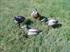 Picture of Bigfoot Mallard Field Duck Decoys 1 dz. with 12 -slot Bag (BF211989)