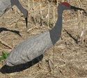 Picture for category Sandhill Cranes