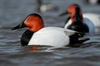 Picture of **FREE SHIPPING**  Over-Sized Canvasback Duck Decoys (AV73049) by Greenhead Gear GHG Avery Outdoors