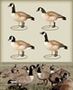 Picture of **FREE SHIPPING** Lesser Canada Goose Decoys Upright 4pk by Final Approach Decoys