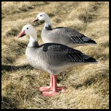 goose prairie hindu singles Presented by the hindu society of saskatchewan an a singles social group for until april 30 at 910 spadina cres e traditional ukrainian goose egg pysanky.