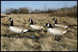Picture of Bigfoot Canada Standard Upright Honker Decoys (BF111487)