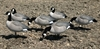 Picture of X-Treme Painted Lesser Canada Goose Decoys (DAK12190)  6 pack by Dakota Decoys