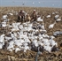 Picture of **SALE**  Econo Feather Flyer Snow Goose (all white) by Feather Flyer Decoys