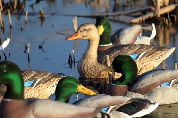 Prairiewind Decoys Free Shipping Flocked Head Mallard
