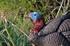 Picture of **FREE SHIPPING**  X-treme Flocked Back Jake Turkey Decoy (13250) by Dakota Decoys