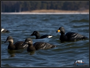Picture of Commercial Grade Common Scoters AV74021 Foam Filled by Greenhead Gear GHG Avery Outdoors
