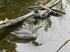 Picture of Standard Swivel Head Mallard Duck Decoys 1dz.  (M4SW) by G&H Decoys
