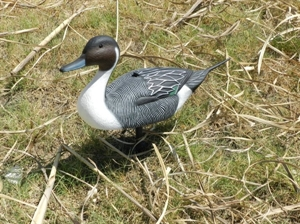 Picture of Magnum Pintail SHELLS Duck Decoys - 6 Drakes (P1DM) by G&H Decoys