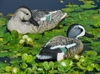 Picture of **SALE** Standard Blue Wing Teal Duck Decoys 6pk (T4) by G&H Decoys