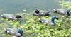 Picture of **SALE**  Standard Greenwing Teal Duck Decoys 6pk (T3) by G&H Decoys