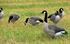 Picture of  **SALE** Painted Canada Honker Goose Decoys - SENTRY 4pk (DAK12010) by Dakota Decoys