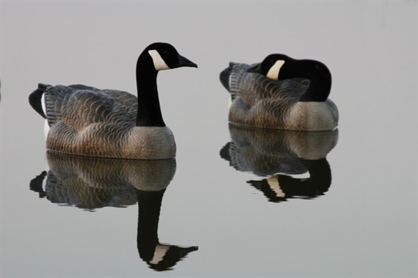 Prairiewind Decoys Canada Goose Floating Goose Decoys By