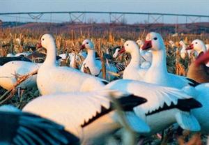 Picture of **SALE** Premium Snow Goose FB Decoys (DAK12300) by Dakota Decoys