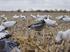 Picture of **SALE** Premium Blue Goose FB Decoys (DAK12350) by Dakota Decoys