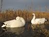 Picture of Snow Sleeper Floating Goose Decoys (DAK12180) 6pk by Dakota Decoys