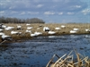 Picture of **SALE**  Snow Goose Sleeper Decoys by Sillosocks Decoys