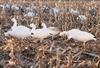 Picture of SNOW GOOSE FULLBODY FEEDER (FA474191) DECOYS by Final Approach Decoys