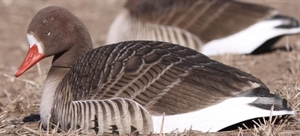 Picture of FFD Specklebelly Rester Goose Shell Decoys (AV72056) by Greenhead Gear GHG Avery Outdoors