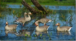 Picture of **FREE SHIPPING** Pro-Grade Specklebelly Floating Goose Decoys Active 4pk by Greenhead Gear