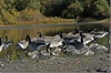 Picture of *FREE SHIPPING* Pro-Grade Honker 3D Silhouette Canada Goose Decoys by Greenhead Gear
