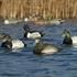 Picture of **SALE** Life-Size Bluebill Duck Decoys 6 pk (AV73038) by Avery Greenhead Gear GHG