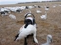Picture for category SNOW GOOSE DOG