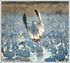 Picture of SNOW BAIT E-CALLER SNOW GOOSE CD**Free Shipping*