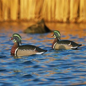 Picture of Life Size Wood Duck Decoys (AV73035) by Greenhead Gear GHG Avery Outdoors