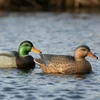Picture of ***FREE SHIPPING*** Oversize Mallard Duck Decoys - 6 pack (73013) by Greenhead Gear GHG Avery Outdoors