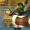 Picture of **SALE** Over-Sized Shoveler Duck Decoys (AV73010)  by Greenhead Gear GHG Avery Outdoors