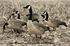 Picture of **FREE SHIPPING** Money Maker Goose Call by Zink Calls