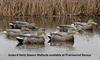 Picture of Top Flight Early Season Mallard Duck Decoys 6pk by Avian X Decoys