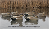 Picture of **SALE** Top Flight Gadwall Duck Decoys 6pk by Avian X Decoys