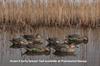 Picture of Top Flight Early Season Teal Duck Decoys 6pk by Avian X Decoys