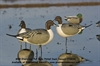 Picture of Over-Sized Pintail Full Body Duck Decoys by Greenhead Gear