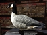 Picture of AXF FLOCKED OUTFITTER Lesser Canada Goose Decoys w/12-slot bag (Z9033) by Avian X Decoys