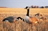 Picture of **FREE SHIPPING** Commercial Grade Full Body Honker Decoys by Greenhead Gear