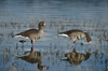 Picture of *FREE SHIPPING* FFD Specklebelly Full Body Goose Decoys Harv 6 pk by Greenhead Gear GHG