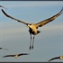 Picture of Sandhill Crane Decoys by Deception Decoys
