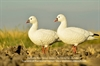 Picture of **SOLD OUT** Ross Goose Fullbody Goose Decoys 6 pk by Deception Outdoors