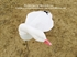 Picture of **SALE** FlockSox Snow Goose Decoys - Harvester 12pk (SS1012FS) by Sillosock Decoys