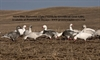 Picture of *FREE SHIPPING* SNOW BLUE Goose Decoy Harvester 12 pack by Greenhead Gear GHG