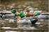 Picture of Top Flight Preener/Rester Mallard Duck Decoys 6pk (Z8072) by Avian X Decoys Zink Calls