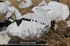 Picture of **SUMMER SALE** Sillosocks Snow Goose Sleeper Windsock Decoys (SS1012SLPR) by Sillosock Decoys